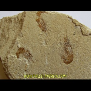 CARPOPENAEUS CALLIROSTRIS (11)