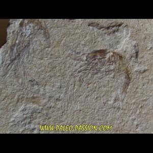 CARPOPENAEUS CALLIROSTRIS (12)