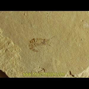CARPOPENAEUS CALLIROSTRIS (14)