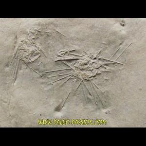 oursin diademopsis serialis (1)