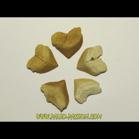 shark teeth (set of 5): SQUALICORAX PRISTODONTUS (1)
