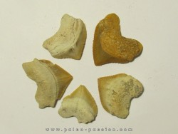 shark teeth (set of 5): SQUALICORAX PRISTODONTUS (2)