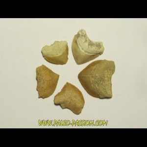 shark teeth (set of 5): SQUALICORAX PRISTODONTUS (4)