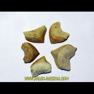 shark teeth (set of 5): SQUALICORAX PRISTODONTUS (5)