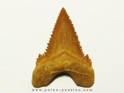 PALEOCARCHARODON ORIENTALIS (5)