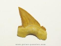 PALEOCARCHARODON ORIENTALIS (7)