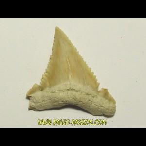 PALEOCARCHARODON ORIENTALIS (10)