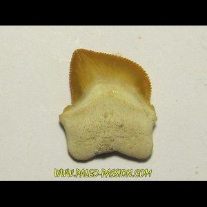 shark teeth: SQUALICORAX KAUPI (1)