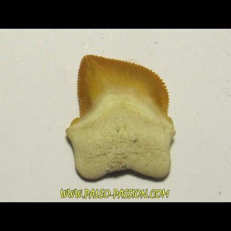 shark teeth: SQUALICORAX KAUPI (1)