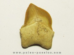 shark teeth: SQUALICORAX KAUPI (3)