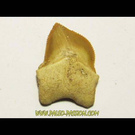 shark teeth: SQUALICORAX KAUPI (3)