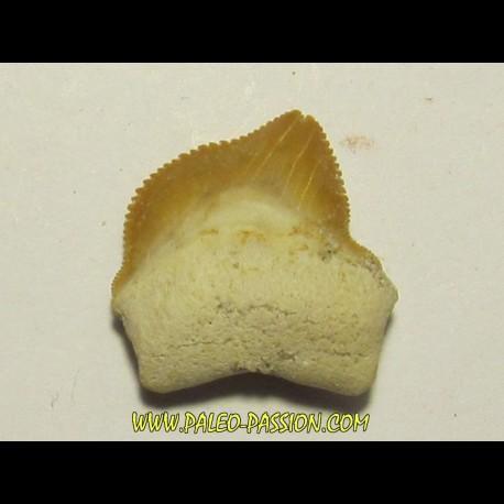 shark teeth: SQUALICORAX KAUPI (4)