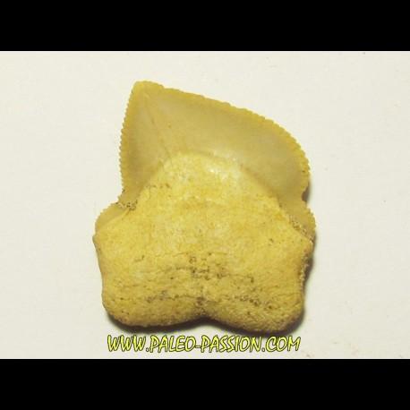 shark teeth: SQUALICORAX KAUPI (5)