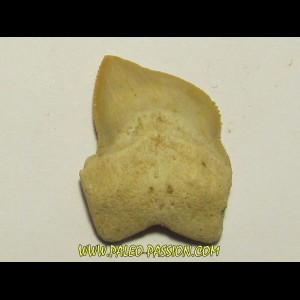 shark teeth: SQUALICORAX KAUPI (6)
