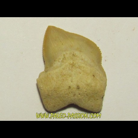 shark teeth: SQUALICORAX KAUPI (6)