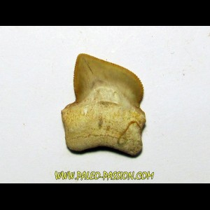 shark teeth: SQUALICORAX KAUPI (7)
