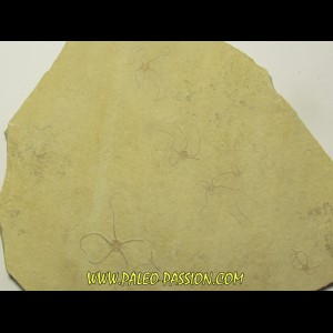 OPHUIRE: sinosura kelheimense (5)