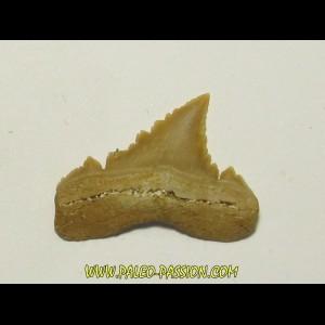 PALEOCARCHARODON ORIENTALIS (21)