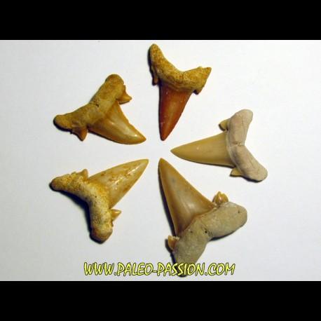 set of 5 CARCHARIAS TWIGGSENSIS (2)