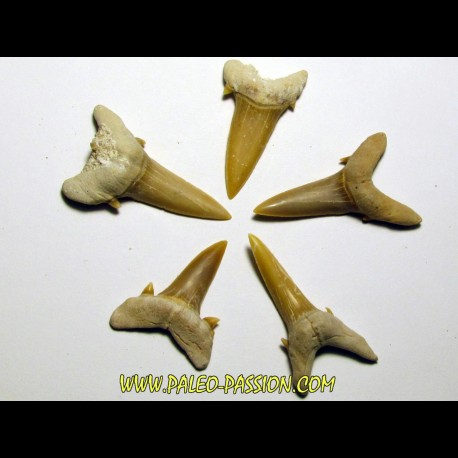 set of 5 CARCHARIAS TWIGGSENSIS (7)