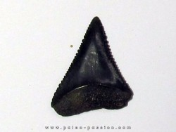 fossil shark tooth great white: Carcharodon carcharias (7)