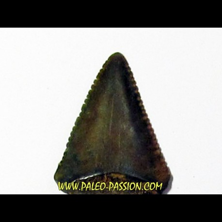 fossil shark tooth great white: Carcharodon carcharias (10)