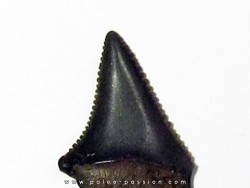 fossil shark tooth great white: Carcharodon carcharias (14)
