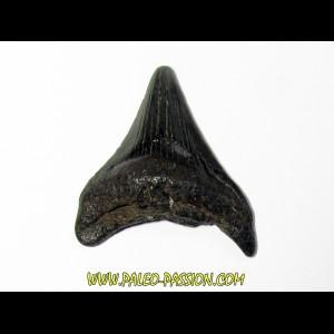 shark teeth: CARCHARODON MEGALODON (16)