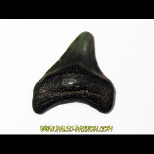 shark teeth: CARCHARODON MEGALODON (22)