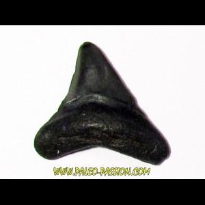 shark teeth: CARCHARODON MEGALODON (26)