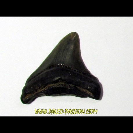 shark teeth: CARCHARODON MEGALODON (24)