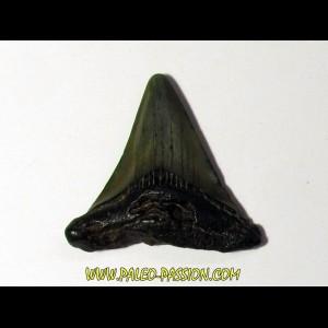 shark teeth: CARCHARODON MEGALODON (29)