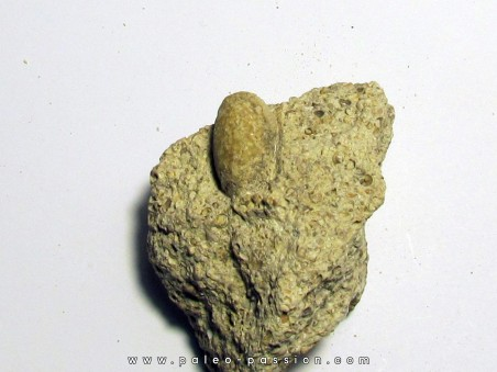 SNAKE EGG - OPHIDIENOVUM sp. (5)