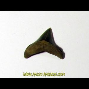 Thresher Shark - Alopias hermani (1)