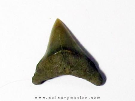 dent de requin renard - Alopias hermani (4)