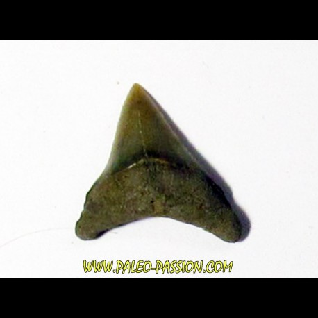 Thresher Shark - Alopias hermani (4)