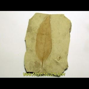 allophylus flexifolia (1)