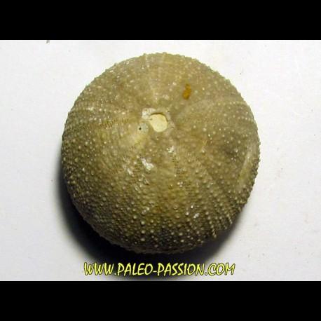 Psephechinus daguini (1)