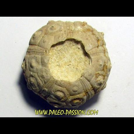Dorocidaris taouzensis (1)