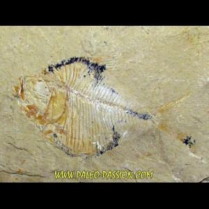 DIPLOMYSTUS BIRDI (4)