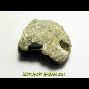 primitive shark tooth ORODUS sp. (3)