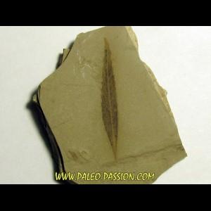 cedrelospermum nervosa (2)