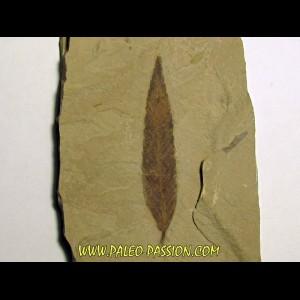cedrelospermum nervosa (3)