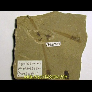 equisetum winshesteri (horsetail) and beetle (1)