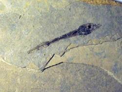 Cobitopsis acutus  (1)