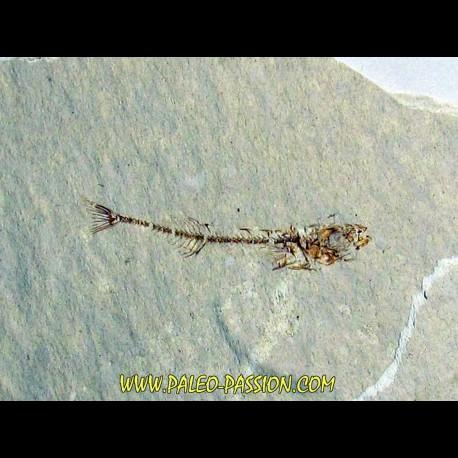 GASTEROTEUS STICKLEBACK (3)