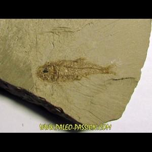 Aphanius crassicaudus