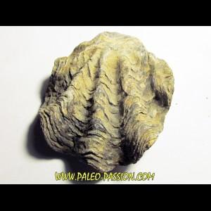 Ostrea nicaisei (1)