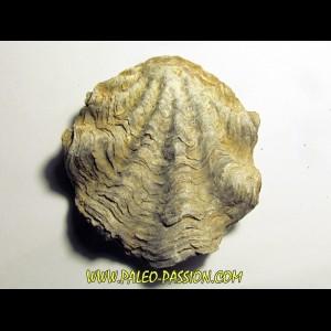 Ostrea nicaisei (2)