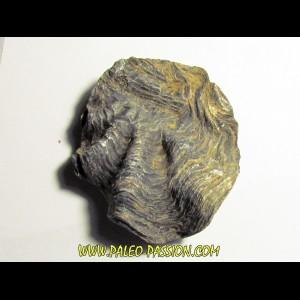 Ostrea nicaisei (5)